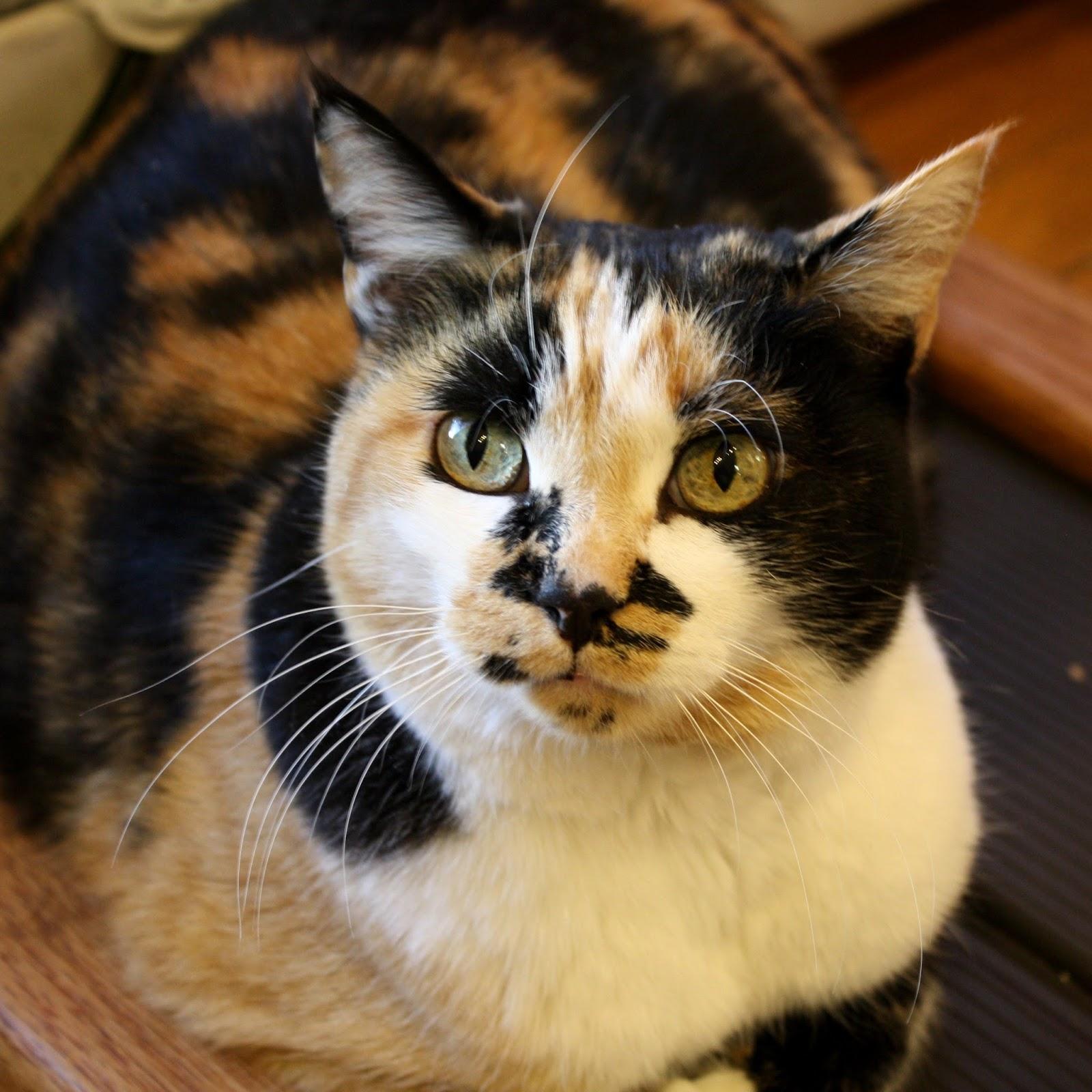 The Amazing Calico Cat