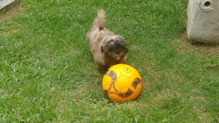 Cachorrinha Meg esta desaparecida em Iguape