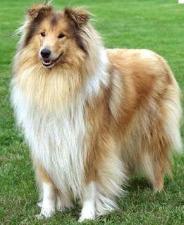 razas de perros grandes collie