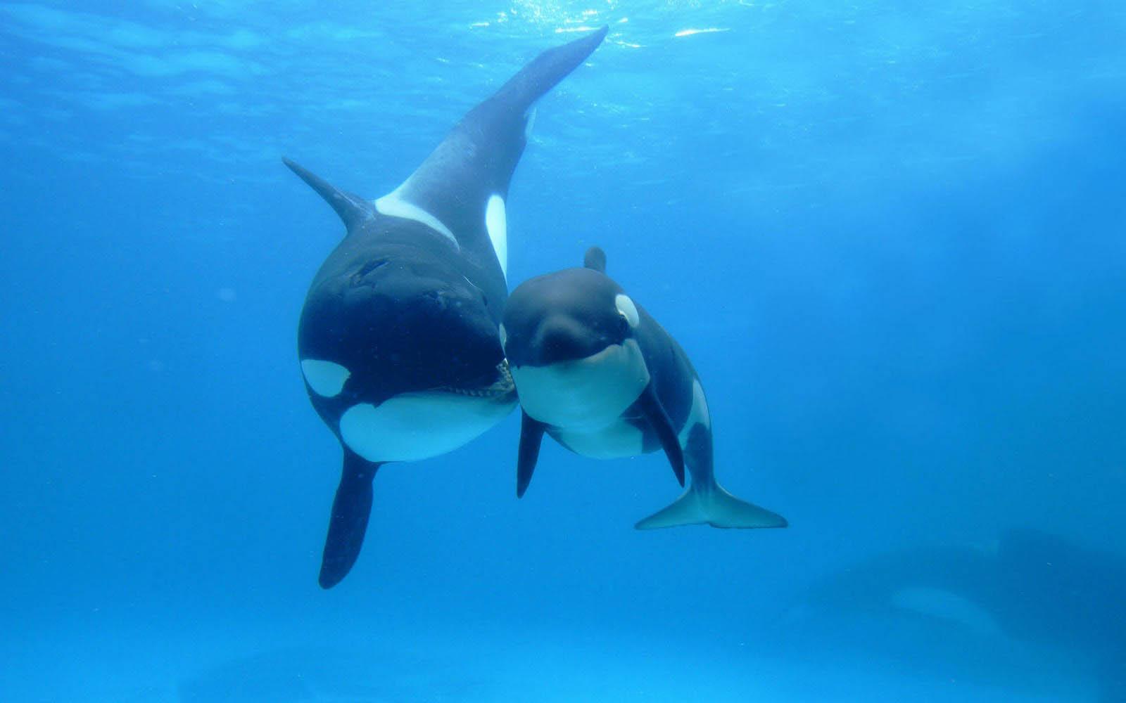 animals wildlife orca picture - photo #3