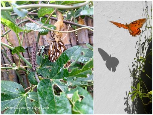 Larva y mariposa espejito - Chacra Educativa Santa Lucía