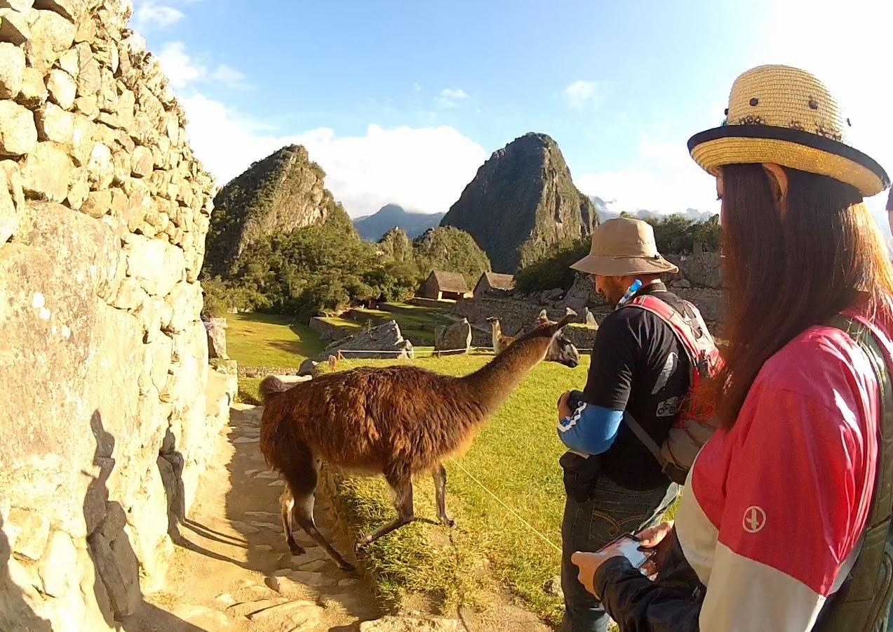 Lhama em Machu Picchu / Peru.