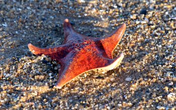 Wallpaper: Starfish on San Carlos Beach