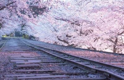 Tempat Instagramable untuk Melihat Bunga Sakura Cantik di Kyoto