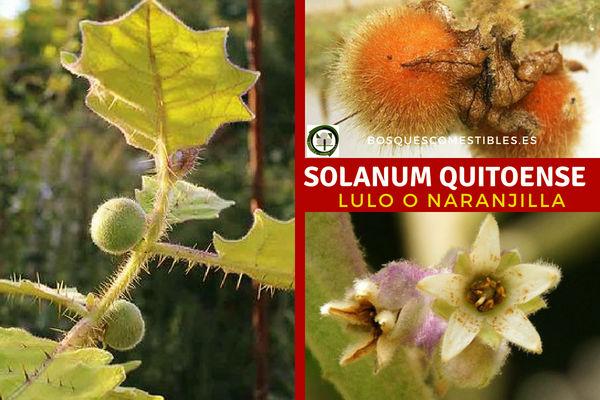 Solanum quitoense, Lulo o Naranjilla, esta fruta tropical se cosechan en estado pintón.