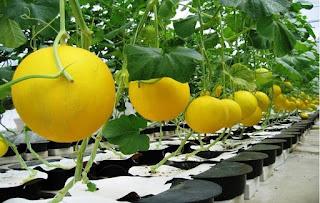 pemupukan melon