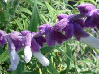 Salvia leucantha - Sauge à fleurs blanches