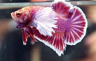 Hasil gambar untuk ikan cupang gajah
