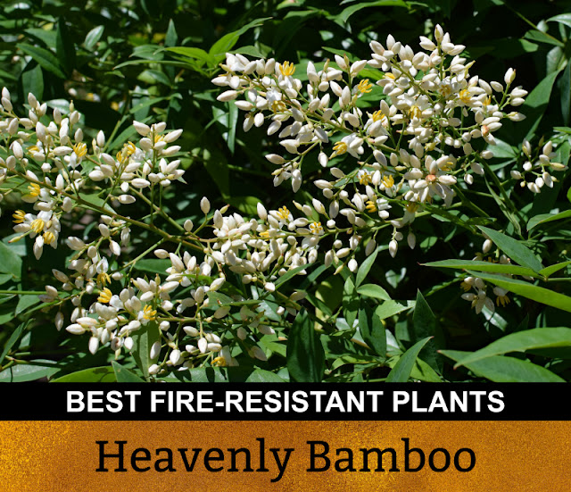 Best Fire Resistant Plants Heavenly Bamboo