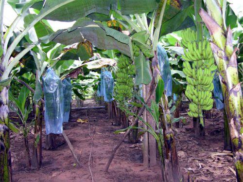 Banana, Cultura da Banana