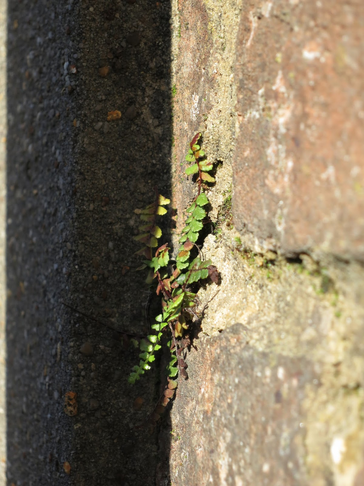 Small fern in corner where brick wall meets concrete. 25th October 2013
