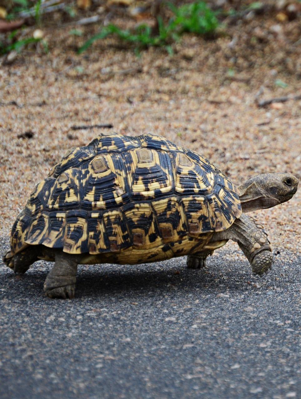 A leopard tortoise