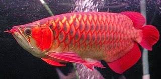 cara ternak ikan arwana irian,cara ternak ikan arwana merah,cara ternak ikan arwana silver,cara ternak ikan arwana di aquarium,cara ternak ikan arwana di akuarium,
