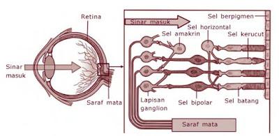 Kedudukan sel kerucut dan sel batang pada retina