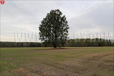 Одинокий дуб посреди поля