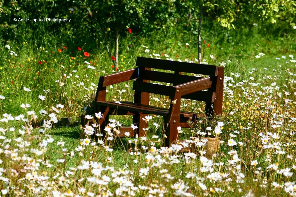 bench in the middle of a field of daisies