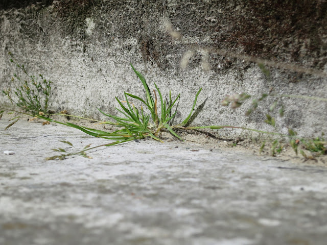 Flowering grass plant in angle of grey, stone step.