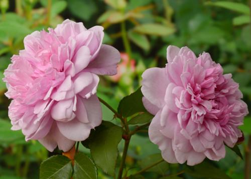 Sister Elizabeth сорт розы фото
