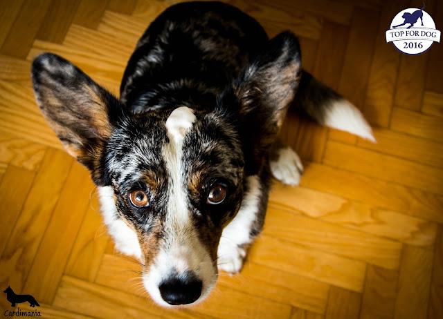 pianka do mycia psów, mycie psów, kąpiel psów, szampon dla psów, w podróży z psem, podróże z psem, urlop z psem, z psem na wakacje, wakacje z psem, welsh corgi, welsh corgi cardigan, corgi