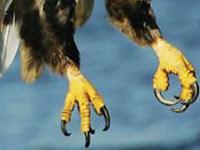 bentuk kaki elang