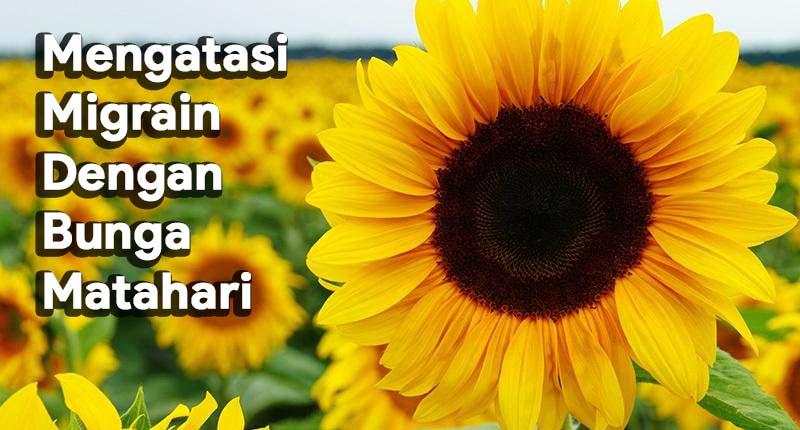 Mengatasi Migrain Dengan Ramuan Alami Bunga Matahari