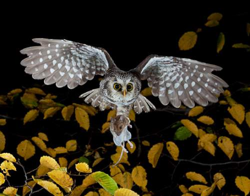 Indian birds - Image of Boreal (Tengmalm's) owl - Aegolius funereus