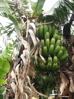 banana plant with fruit
