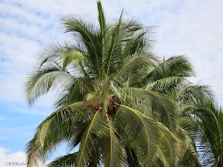 coconut palm, Panama