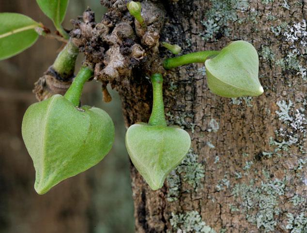 Boccioli di Fiore Annona muricata