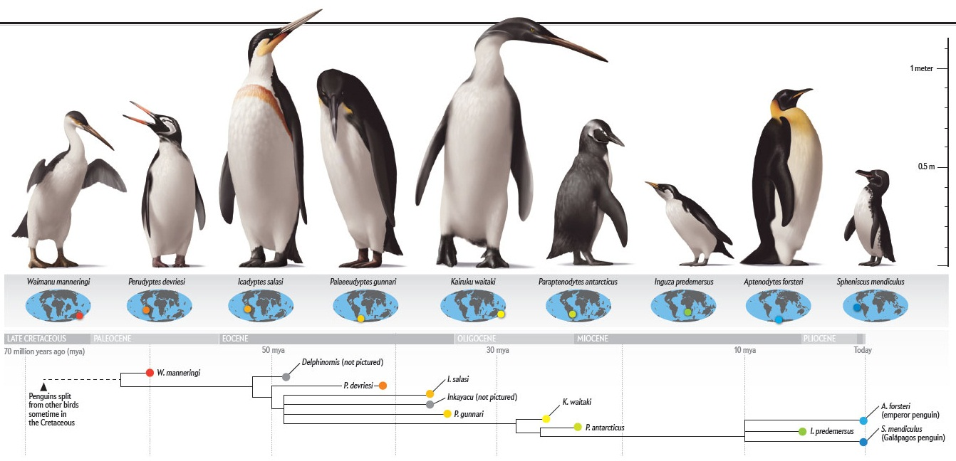 Species New to Science: [PaleoOrnithology • 2012] Penguins: The ...