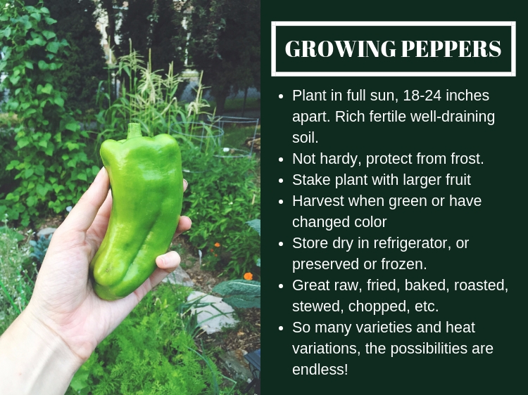 How to Grow Peppers // www.thejoyblog.net