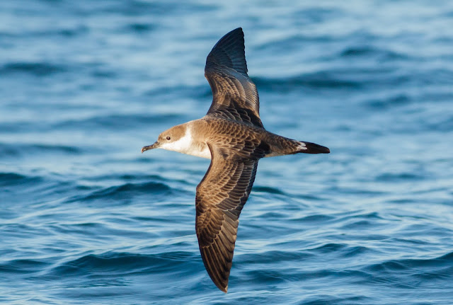 Great Shearwater - Scilly Isles