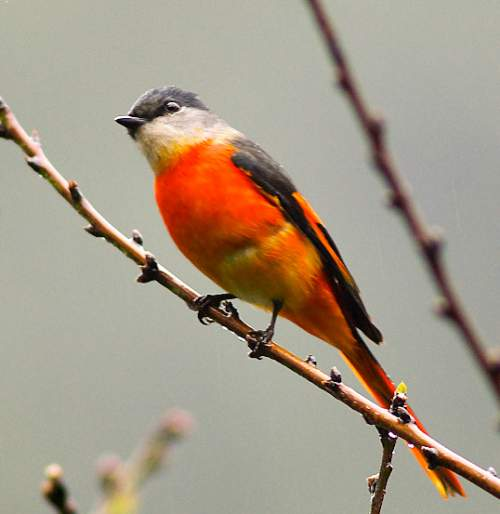 Indian birds - Image of Grey-chinned minivet - Pericrocotus solaris