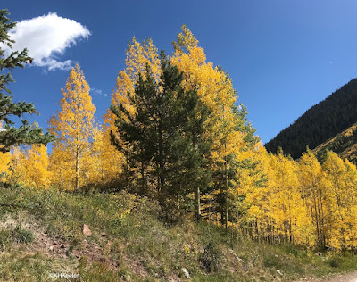 yellow aspens, Rocky Mountain fall