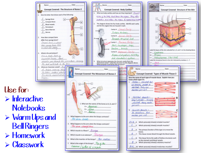 Blog%2B2 amy brown science human body the skeletal, muscular and