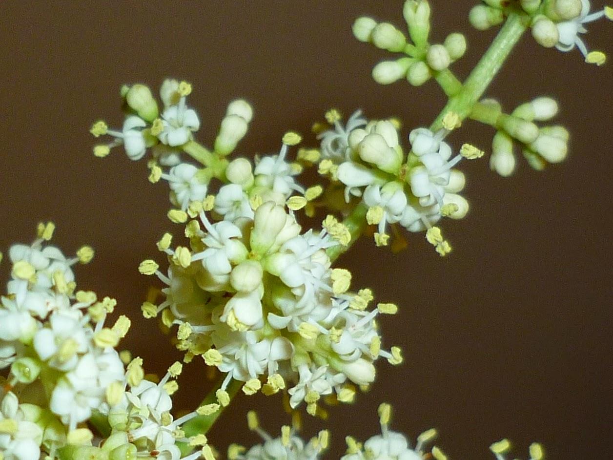 Ligustrum Lucidum 15 Semillas de Aligustre