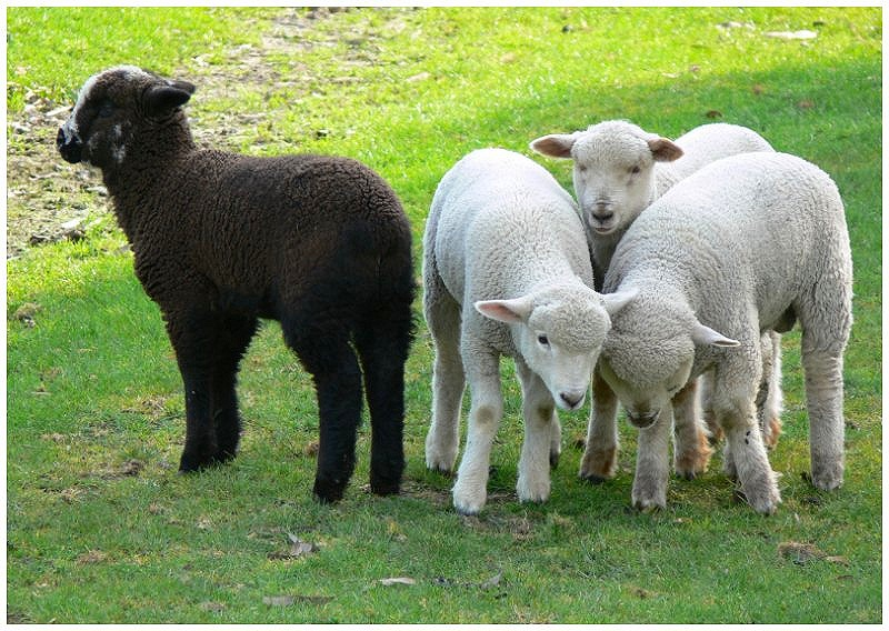 Black Sheep Network Marketer