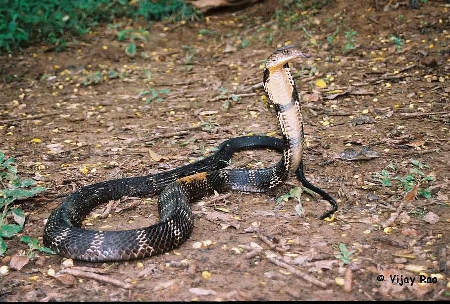 King Cobra Snake Photos: Snakes: Indian King Cobra Snake
