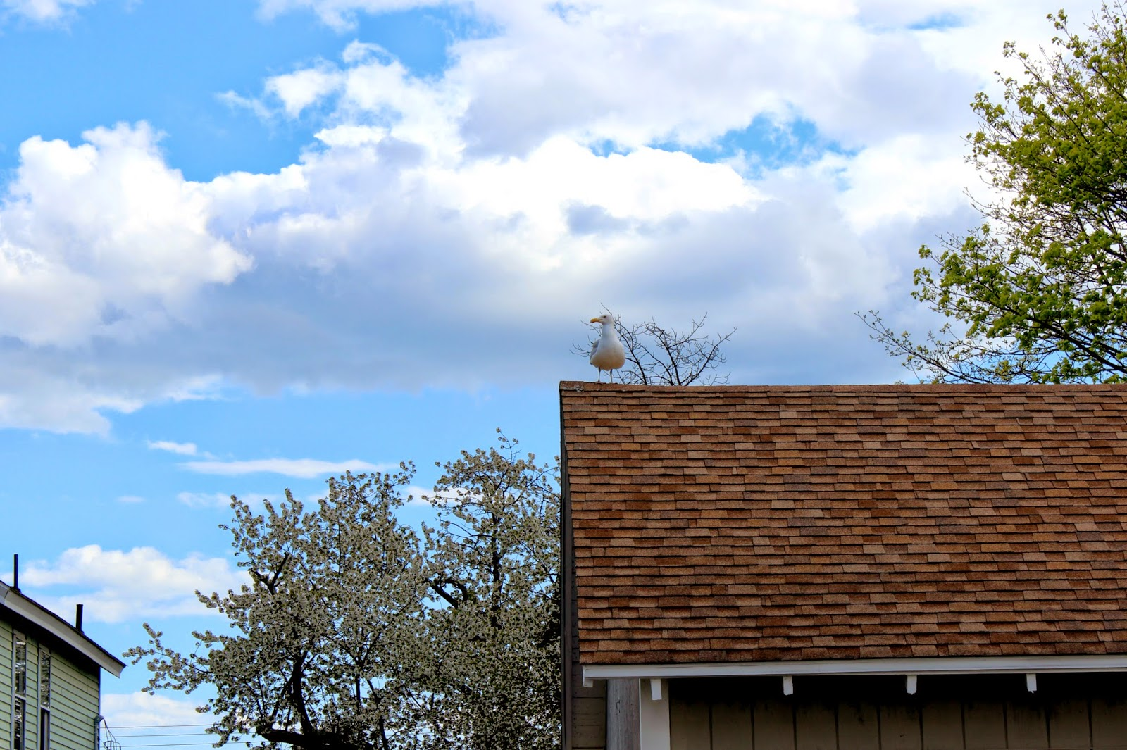 Seagull On Roof