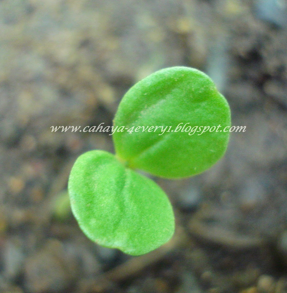 melampodium seedling
