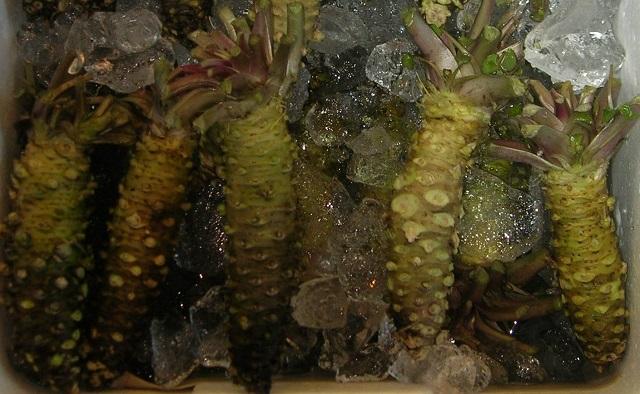 Wasabi para hacer Eutrema japonicum