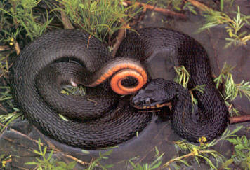 Lake Erie Water Snake Facts: Animals of North America ... |Snake Like Water Animals