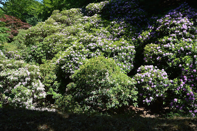 Dalen full av blomstrende rododendroner