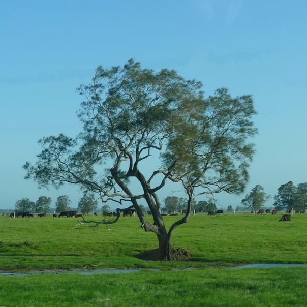 Baum, Eukalyptus, Ostküste, Australien, Farm, Kühe, Farmland, Wasser, grün