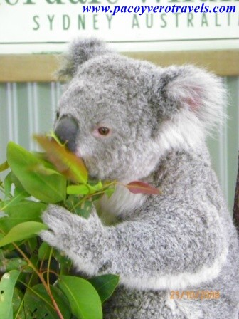 koala de featherdale wildlife park