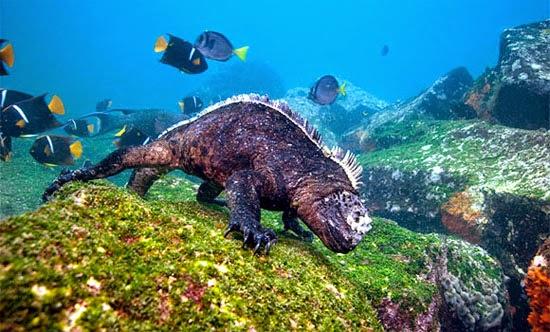 Iguana Mergulhando