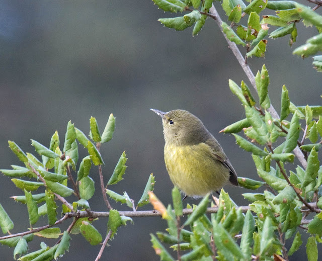 Orange-crowned Warbler at Felicita County Park