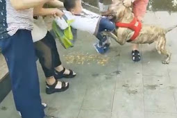 Mengerikan, Anjing Pit Bull Serang Anak Kecil di Jalan