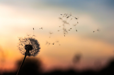 Close-up of a dandelion blowing in the wind in silhouette against an orange sky. Photo by Dawid Zawila on Unsplash