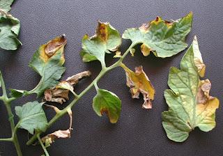 prevenire-virus-piante-coltivazione-indoor